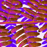 Abstract Nature - Pink Fern