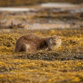 Wild Scottish Otter