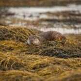 Otter resting on seaweed