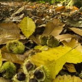 Chestnuts on an autumnal floor