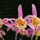 Pleione Orchid pinks & yellows