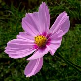 Pink Cosmos 1