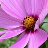 Pink Cosmos 2