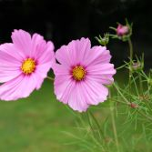 Pink Cosmos 3