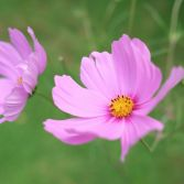 Pink Cosmos 5