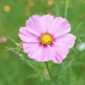 Pink Cosmos 6