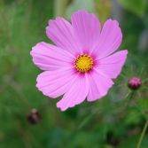 Pink Cosmos 7