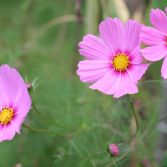 Pink Cosmos 8