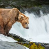 Katmai Grizzly Bear