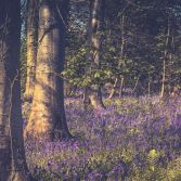 Pamphill bluebells