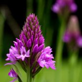 Wild Pyramid Orchid