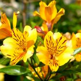 Golden Alstraemeria