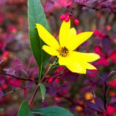 Perennial Sunflower and Berberis berries