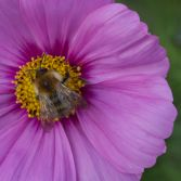 Pink Cosmos and visitor.