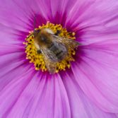 Cosmos flower and Bee.