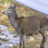 Red deer Loch Etive