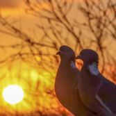 Pigeons at sunrise