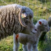 Lamb and parent