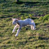 Lamb bouncing around