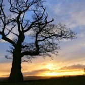 The big tree on the Sheepwalks