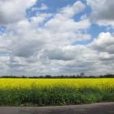 Spring Canola Fields