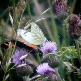 Butterflies and Thistles 1