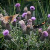 Butterflies and Thistles 2