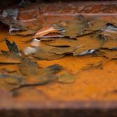 Rusted Autumn Leaves