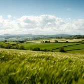 Barley Fields in East Devon