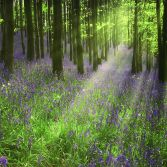 Early Morning Bluebells